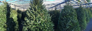Christmas Trees for sale in Rivervale, New Jersey 07675