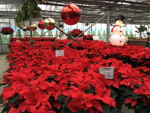 Poinsettias for sale in Rivervale, New Jersey 07675